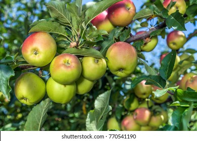 Close-up view of an apple on a tree between leaves under blue sky on a sunny day
