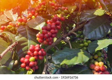 Close-up view of Arabica coffee beans ripe on red berry branches, industrial agriculture on trees in northern Thailand.