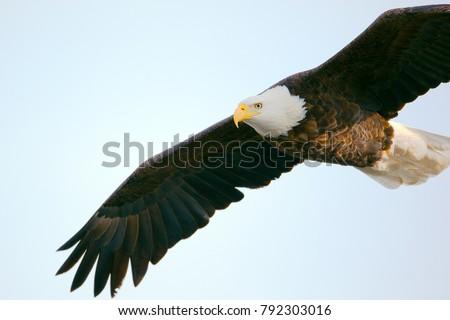 Closeup View Bald Eagle Flight Stockfoto Jetzt Bearbeiten