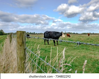 Close-up, view of a barbed-wire fence seen at the boundary of a dairy farm, showing  cattle in the background.