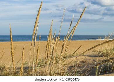 Close-up view of beach grass (sea oats) on Sandbridge Beach in Virginia Beach, Virginia.