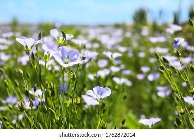 Closeup view of beautiful blooming flax field