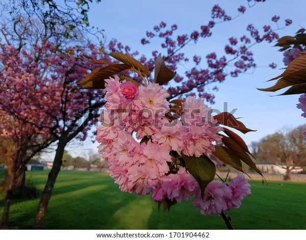 closeup-view-beautiful-cherry-blossoms-6
