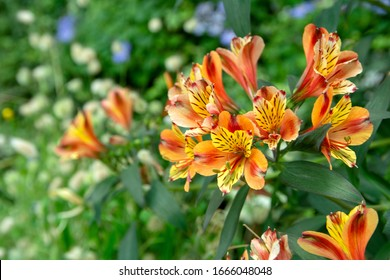 Close-up view of beautiful orange and yellow Alstroemeria lily, lily of the Incas (Alstroemeria) with defocused background.  Alstroemeria, commonly called the Peruvian lily or lily of the Incas.