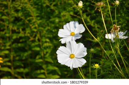 Closeup view of beautiful white flower Cosmos bipinnatus Sonata White on the green blurry background