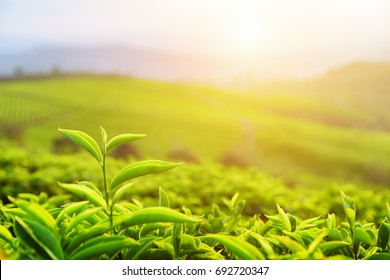Closeup view of beautiful young upper fresh bright green tea leaves at tea plantation in rays of sunset.