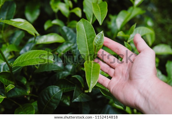 Closeup view of beautiful young upper fresh bright green tea in hand leaves at tea plantation in rays of sunset. close up green background