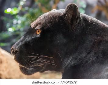 Close-up view of a black Jaguar (Panthera onca)