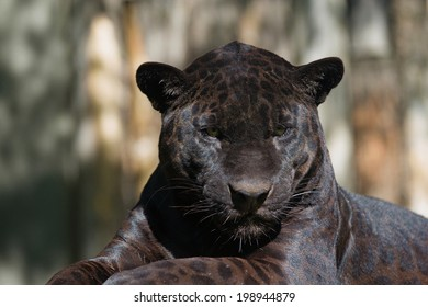 Closeup view of the black leopard is lying on the tree trunk