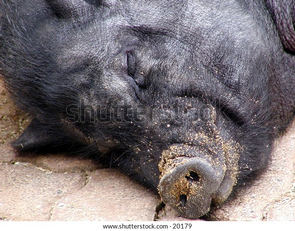 Close-up view of a black pig sleeping