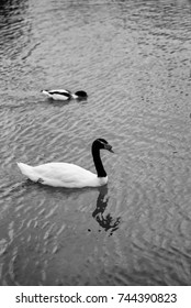 Close-up view of a Black-necked swan (Cygnus melancoryphus) swimming in a lake, black and white photography