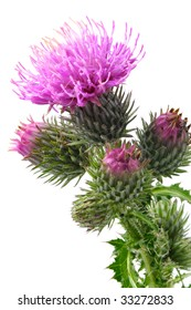 Close-up view to blooming burdock (Arctium lappa) on white background. Not isolated, studio shot