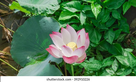 Closeup View Blooming Pink Lotus Flower Stock Photo Edit Now