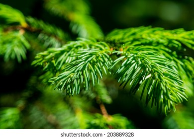 Closeup view of a bright green spruce tree branches and needles. The real treasure of Christmas holidays