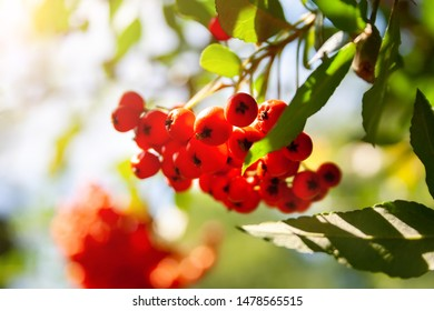 A closeup view of the bright orange ashberries with a sunlight streaming on them through the rowan leaves. Selective focus. Blurred green background