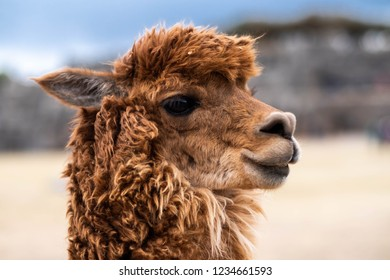 Closeup view of brown lama on the blurred background in Sacsayhuaman