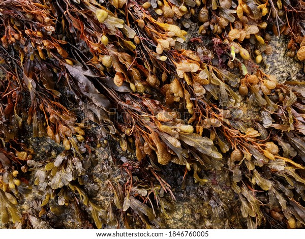 Closeup view of brown seaweeds on the rock at low tide.