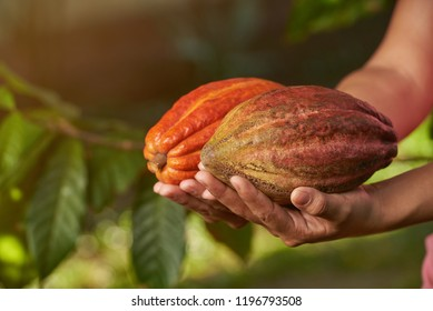 Close-up view of cacao pods on sunny blurred background