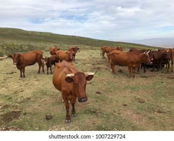 Close-up view of cattle grazing in a meadow in South Africa