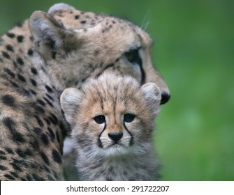Close-up view of a Cheetah cub in front of his mother 02
