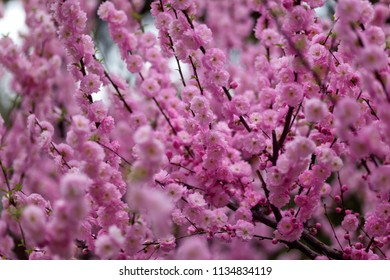 Close-up view of Chinese plum blossoms in full bloom in early spring in Beijing, China