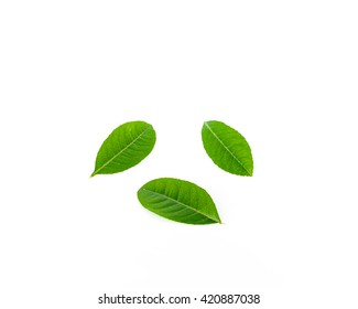 Close-up view collection of fresh green young lemon leaves isolated on white background. Its freshly picked from home growth organic garden. Food concept.