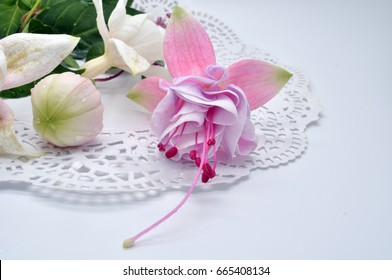 Closeup view of the colorful fuchsia flower wth green leafs. Isolated on the white background. ??????? ?????? ?????? ?? ???????? ?? ????? ???? ????????? ??????? ? ???????? ????????