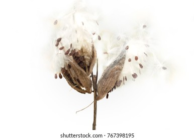 Close-up view of Common Milkweed (Asclepias syriaca) plant isolated on white background