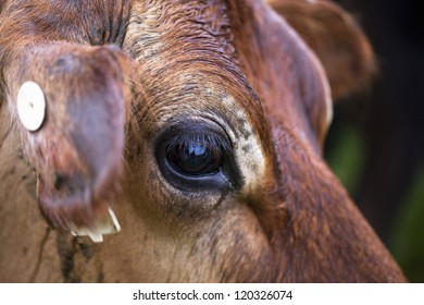 Closeup view of cow