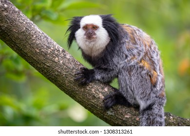 close-up view of cute callithrix geoffroyi monkey on branch