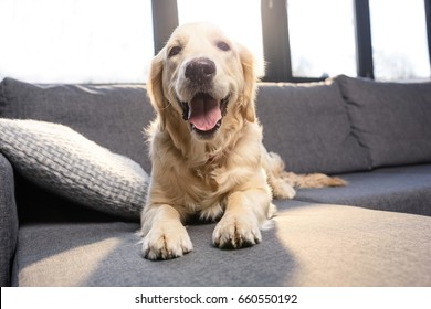 Close-up view of cute golden retriever dog lying on sofa indoors
