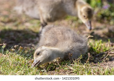 Closeup view of cute graylag goose goslings (Anser anser)