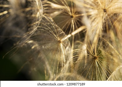 Closeup view of a dandelion blowball against dark background. Sunset time