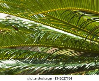 Closeup view of the dark green leafs of female Sago palm (Cycas revoluta), also known as king sago palm