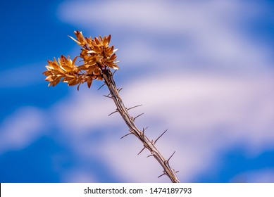 A closeup view of a dead and weathered ocotillo plant stem with thorns and leaves
