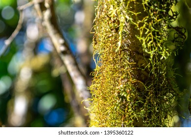 Close-up view of dense moss on a tree tree trunk and branches in the background on the summit of Mount Gower on UNESCO World Heritage site Lord Howe Island, New South Wales, Australia.