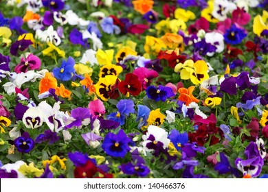 Close-up view of different viola flowers in the sunny day