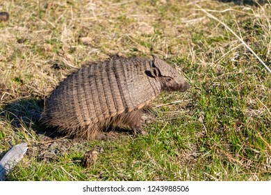 Close-up view of a dwarf armadillo in Torres del Paine National Park