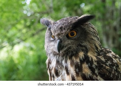 Close-up view of an Eagle Owl (Bubo Bubo).