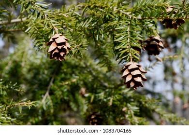 Closeup view of early springtime pinecones budding.