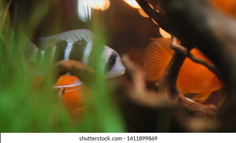 Close-up view of exotic black and white and golden fish floating in the aquarium with green algae and small wooden snags. Frame. Beautiful fish tanks
