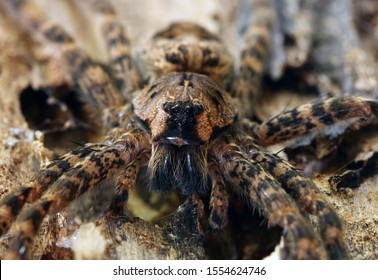 Close-up view of the eyes and mandibles of a Dark Fishing Spider (Dolomedes tenebrosus).