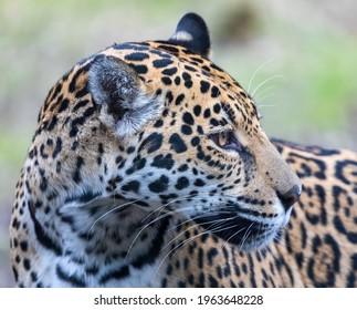 Nahaufnahme eines weiblichen Jaguars (Panthera onca)