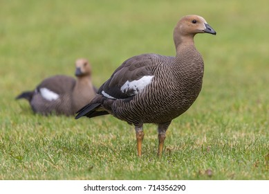 Close-up view of a female Magellan Goose (Chloephaga picta) at Torres del Paine N.P. (chile)