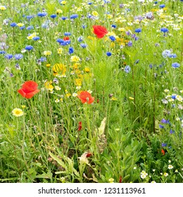 Closeup view of a field with poppy and corn flowers.