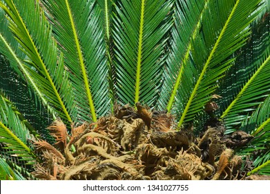 Close-up view of flower of female Sago palm (Cycas revoluta), also known as king sago palm, encircled by glossy dark green foliage