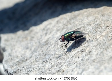 Close-up view of a fly sitting on a slate sheet (left side view)
