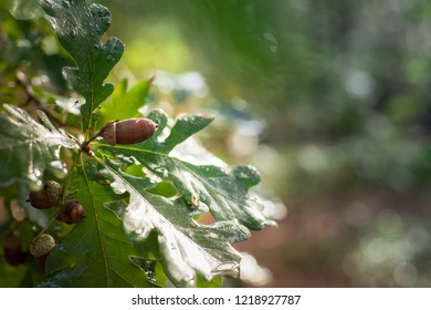 Close-up view of fresh attractive acorns between leaves on oak tree, under autumn sunlight after a rain shower