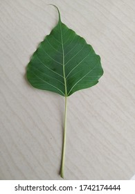 Closeup view of fresh isolated green leaf of Ficus religiosa (Sacred fig, Pipal, Bodhi tree, Ashwattha tree or Pippala) of Moraceae family in white background.