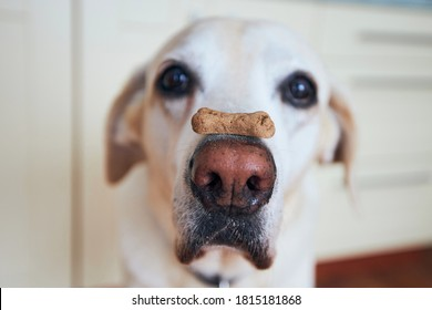 Close-up view of funny dog. Labrador retriever balancing biscuit with bone shape on his snout.